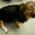 Cruel Teens Break This Dog's Legs And Set Him On Fire, But He Survives And Still Loves People PAWS PLANET