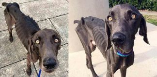 Starving Dog Who Survived By Eating Rocks And Twigs Gets His Happily Ever After