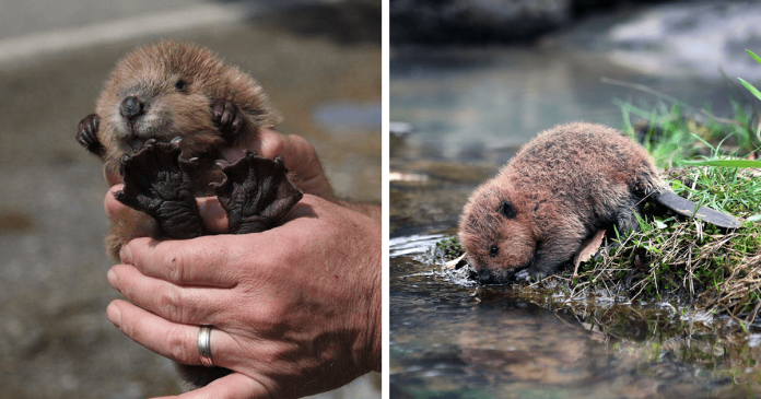 Don't Look At These Cute Baby Beavers, They Will Steal Your Heart PAWS PLANET