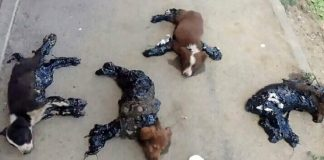 Four Tortured Dogs Rescued After Being Stuck In Hot Tar By Cruel Thugs PAWS PLANET