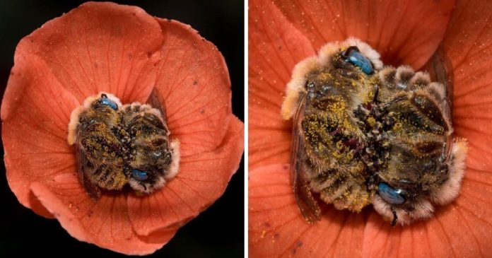 I Can't Believe That There's A Species Of Bee That Sleeps In Flowers And It's As Cute As It Sounds PAWS PLANET