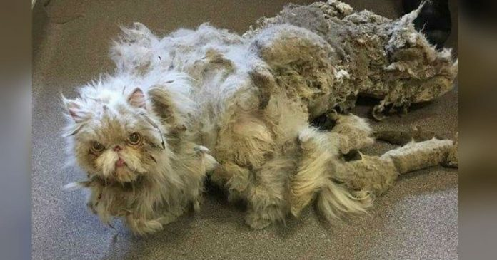 Neglected Cat Gets The Makeover After Being Freed From 5 Pounds Of Matted Fur PAWS PLANET