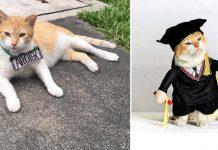 University Hosted A Graduation Ceremony For Its Cat Mascot Before He Moved To His Forever Home PAWS PLANET