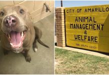 Shelter Euthanized Pregnant Pit Bull While She Was In Labor