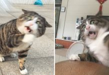 Meet Ah Fei, The Chubby Cat With Silly Face Will Win Your Heart PAWS PLANET
