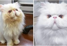 "Meet Brimley, The Rescue Persian Cat Turns A ""Dog Person"" Into A Cat Dad PAWS PLANET"