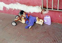 Paralyzed Dog Abandoned On Street With A Bag Of Diapers And A Note PAWS PLANET