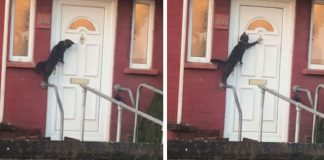 Viral Video Shows A Polite Cat Knocking On Door Like A Human PAWS PLANET