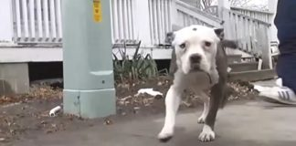 Family Pit Bull Chases Off Burglar and Saves 9-year-old Boy's Life