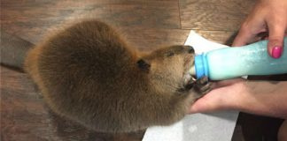 Woman Rescues Orphaned Baby Beaver