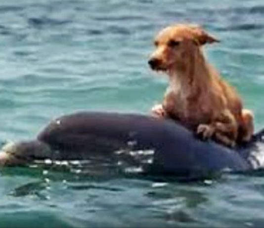 Dog falls into canal and starts to drown, until group of dolphins saves him in incredible manner