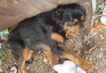 Paralyzed Rottweiler Brutally Dumped Almost Gave Up Hope