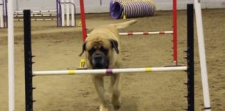 English Mastiff Takes Part in Dog Agility and We Can All Relate