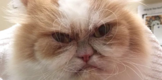 This Angry Feline Is Being Called The World's New 'Grumpy Cat'