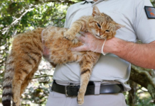 New Species Of Cat Discovered On Mediterranean Island Is Thought To Be Half Fox
