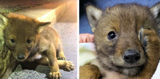 Cop Goes Above And Beyond For A Lonely Little Coyote Puppy