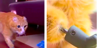 Cat Gets 'World's First' Bionic Paws After Losing Feet To Frostbite
