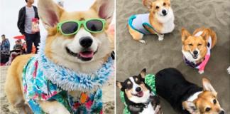 Over 1,000 Corgis flooded a San Francisco beach for 'Corgi Con' and the photos are adorable