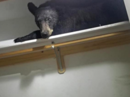 Family Wakes Up To A Black Bear Sleeping In Their Closet