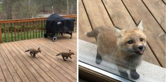 Fox Cubs Turn Grandma's Porch Into Their Own Private Playground