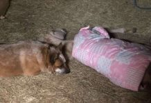 Rescue Dog Becomes Dad To Orphaned Foal And Won't Let Him Sleep Alone