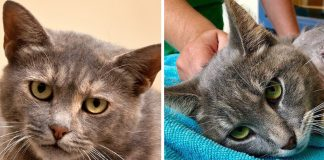 Pickles The Cat Lost Leg After Someone Tied Firecrackers To Her Paw