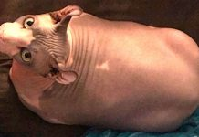 25-Pound Hairless Cat Worked Hard For Losing Weight