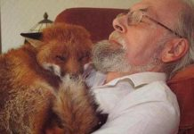 Man Saved Seriously Injured Fox And Found His New Best Friend