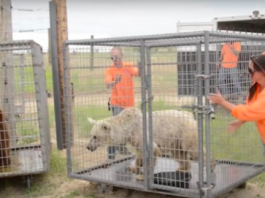 Senior Bears Caged For 20 Years Finally Take Their First Steps Of Freedom