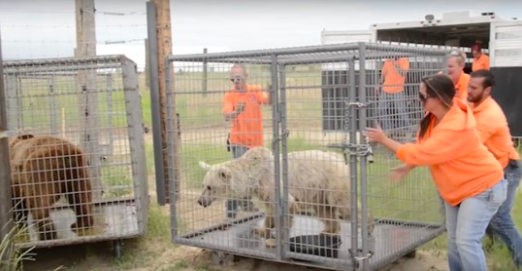 Senior Bears Caged For 20 Years Finally Take Their First