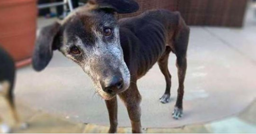 Starving Senior Dog Felt Defeated When He Is First Rescued Until His Tail Started Wagging