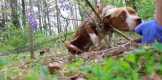 Pit Bull found chained to a tree outside abandoned home makes a remarkable recovery