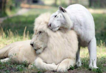 White Lion And White Tiger Fall In Love And Have The Most Cutest Babies
