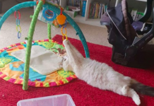 Cat Doesn't Understand That This Fun New Toy Isn't For Her
