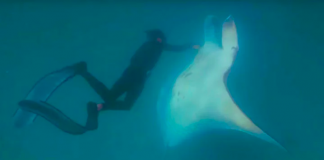 Giant Manta Ray Begs Snorkeler To Help Save Her Life