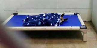 Senior Shelter Dog Tucked Himself In Every Night Waiting For A Family