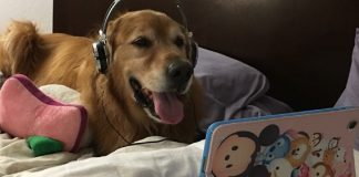 Dog Wore Headphones And Watched Videos During Fireworks