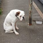 Boxer Dog Was Abandoned And Tied To A Lamppost, Kept Waiting With Sad Eyes