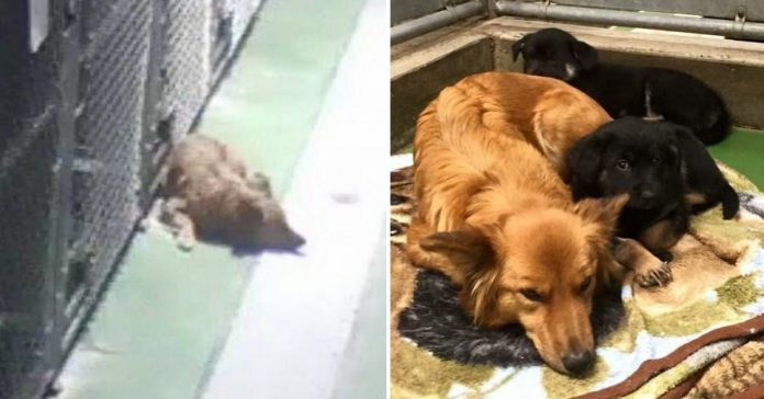 Dog Sneaks Out Of Kennel To Comfort And Cuddle With Crying Foster Puppies