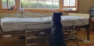 Photo of Loyal Dog Waiting For Owner Next to Empty Hospital Bed Took the Internet by Storm