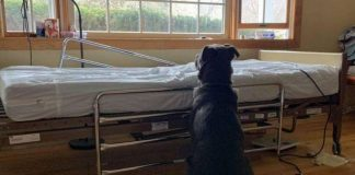 Loyal Dog Doesn't Realize His Owner Has Gone Forever, Still Waits For Him Next To Empty Hospital Bed