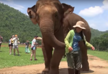 Loving elephant leads her rescuer to newborn baby so she can sing it a lullaby