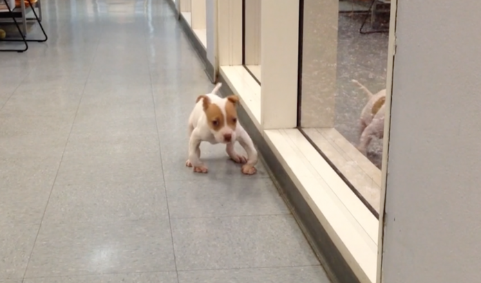 Puppy Born With Deformed Legs Takes His First Stroll Down The Hall at The Rescue Center