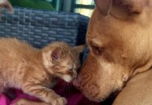 Rescue Pit Bull Falls In Love With Kitten And Spends His Whole Life To Care For Her