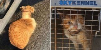 Rescuers Save Cat With Tape Roll Stuck Around Neck And Give Him A Second Chance