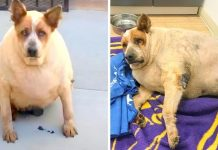 Overweight Dog Abandoned Near Field Finally Knows What Love Feels Like