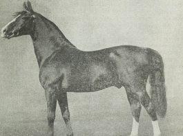 Morgan horse nature