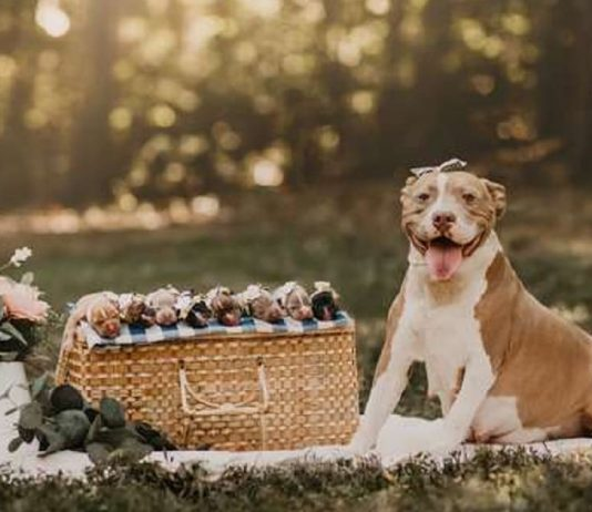 This Rescue Pit Bull Did The Best Maternity Photo Shoot You'll Ever See