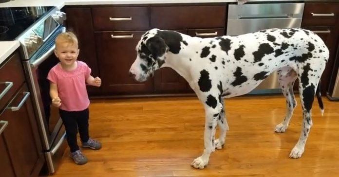 Little Girl Tries To Teach Her Great Dane To Sit For Treats And She's Delighted That It Works