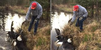 Man Rescues Two Bald Eagles Stuck In A Death Lock After They Fall Into His Pond